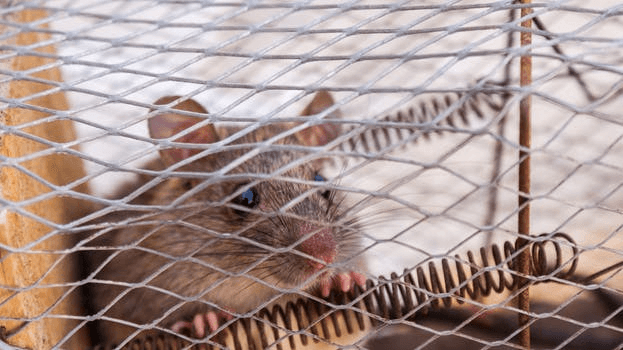 A mouse trapped in a cage.